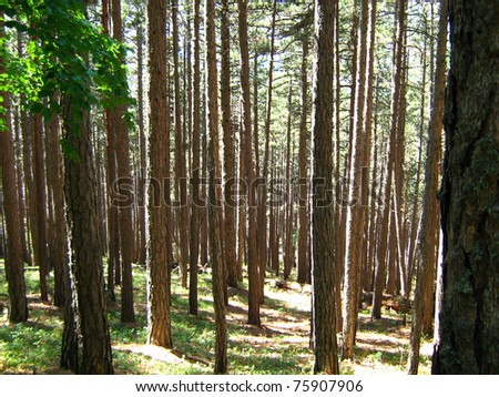 pine forest on the slopes of the mountain
