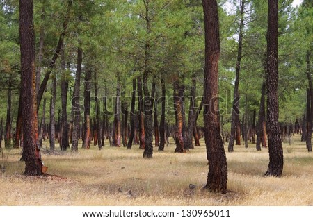 pine forest resin extraction - stock photo
