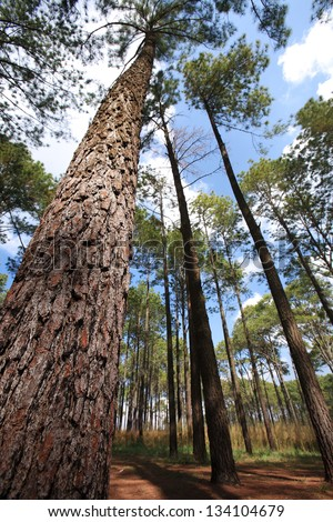 Pine forest.Thailand - stock photo