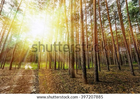pine forest trees. nature green wood sunlight backgrounds - stock photo