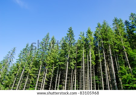 pine forest under deep blue sky in mountain Carpathians - stock photo