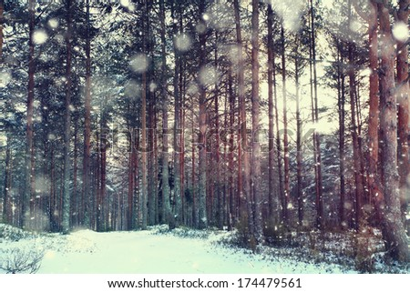 pine forest, winter, snow - stock photo