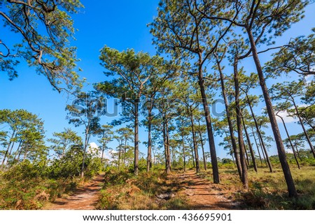 pine forest with meadow and blue sky - stock photo