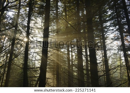 Pine Forest with Rays of Sun Beams - stock photo