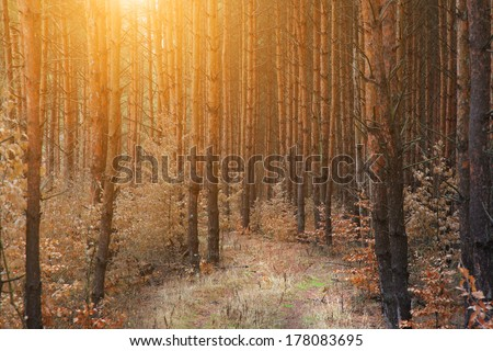 Pine forest with road - stock photo