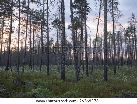 Pine forest years after a fire, Sunset scene from Dalarna, Sweden - stock photo