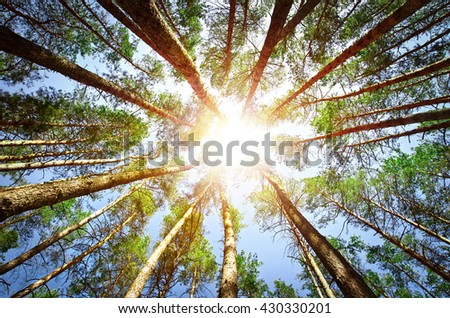 Pine green forest background in a sunny day. - stock photo