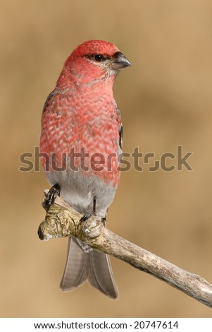 Pine Grosbeak (Pinicola enucleator) posing on a branche - stock photo