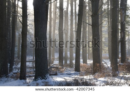 Pine grove in the winter with misting snow.