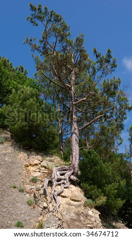 Pine growing on the cliff