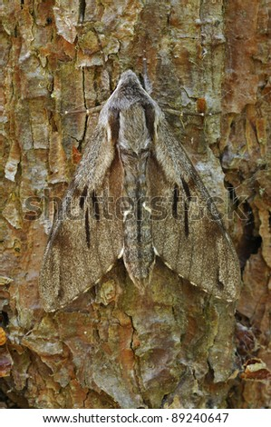Pine Hawkmoth - Hyloicus pinastri On bark on Scots Pine Tree