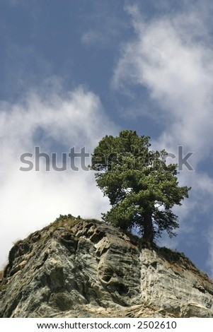 pine in Alps