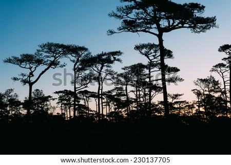 Pine in dawn - stock photo