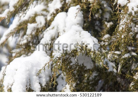pine in snow in winter
