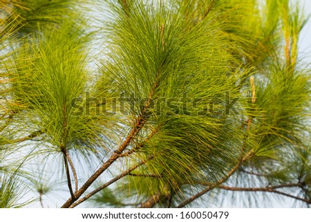Pine in the winter with a fresh and beautiful. - stock photo