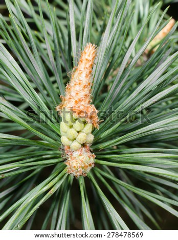pine macro (vertical) - stock photo