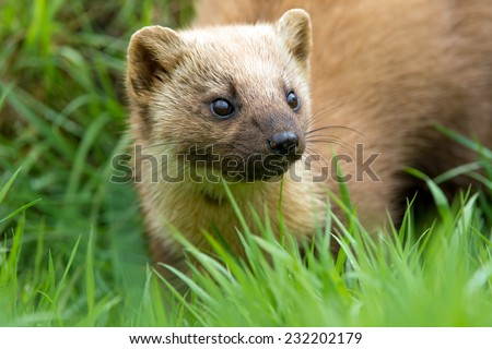 Pine Marten in long green grass/Pine Marten/Pine Marten (martes martes) - stock photo