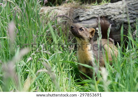 Pine Marten on log in dense green foliage/Pine Marten/European Pine Marten (Martes Martes)