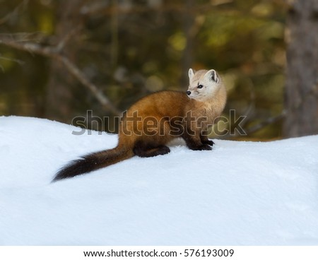 Pine Marten Sitting on Snow in Winter