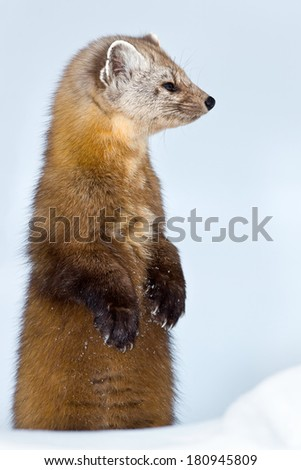 Pine Marten standing on its hind legs in the snow looking to the right. - stock photo