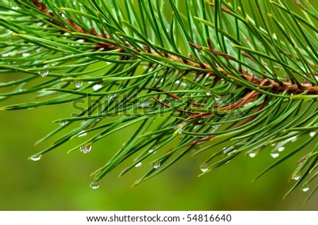 Pine needles and dew drops - stock photo