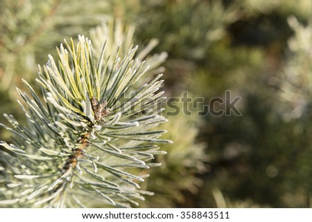 pine needles with morning Frosty