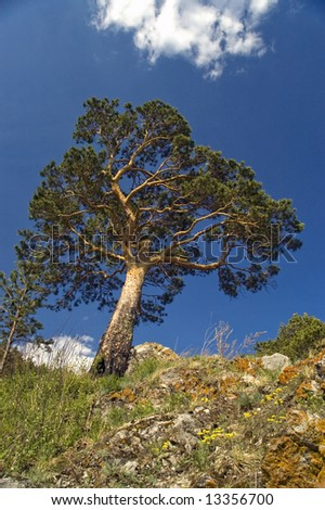 Pine on a background of the light-blue sky.