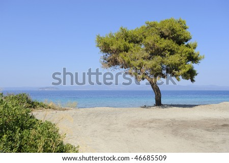 Pine on the beach Peninsula Sithonia, Greece