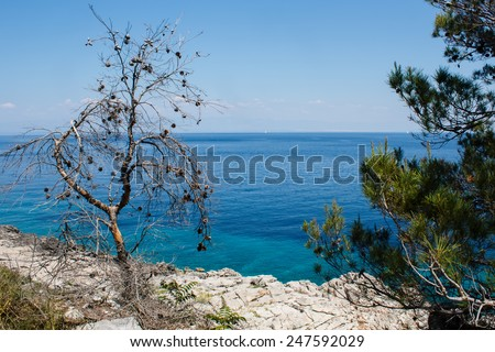 pine on the rock near the sea on island in Croatia
