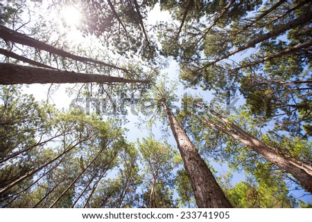 pine plantations - stock photo