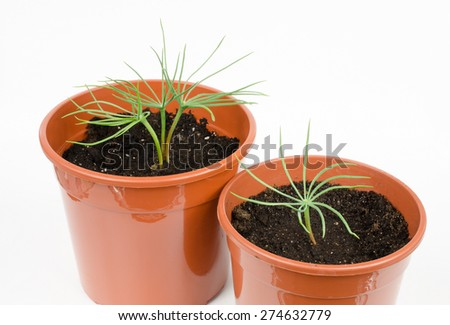 pine seedlings in pots (pinus pinea) - stock photo