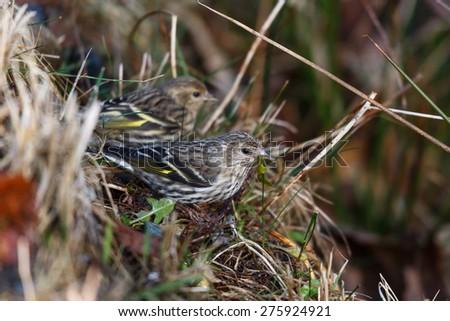 pine siskin bird, in vancouver bc - stock photo