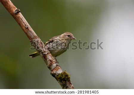 Pine Siskin perched in the forest - stock photo