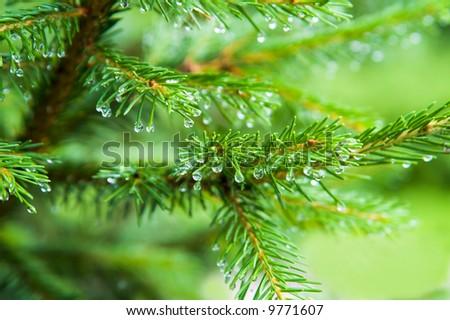 pine tree - stock photo