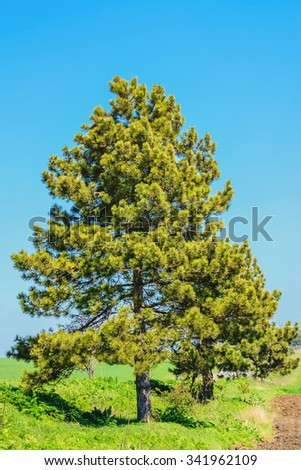 Pine Tree against of the Blue Sky - stock photo