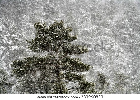 Pine tree and blizzard in December at Torronsuo national park, Tammela, Finland. - stock photo