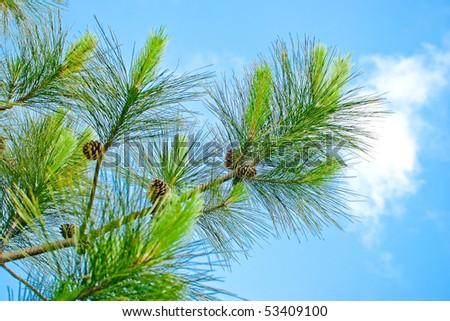 pine tree and blue sky - stock photo