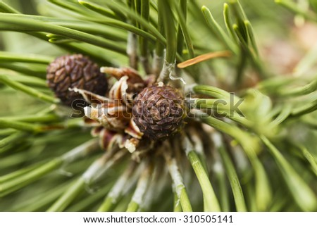 Pine tree and cones closeup