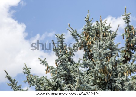 Pine tree and cones with blue sky and clouds