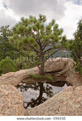 Pine tree at foot of small pool
