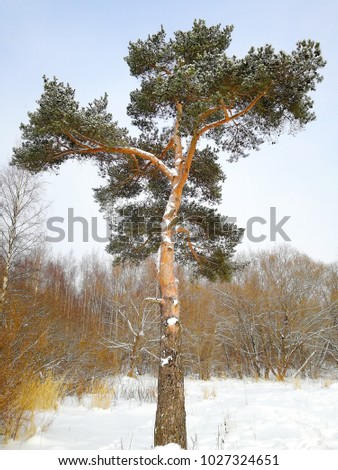 pine tree at winter