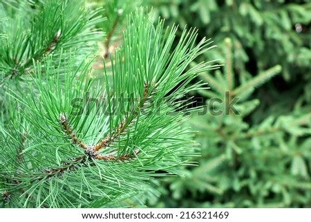 Pine Tree Branch and blurred forest in background
