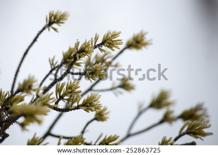 pine tree branch closeup with blur background in frosty winter morning - stock photo