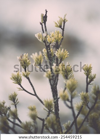 pine tree branch closeup with blur background in frosty winter morning - retro vintage effect - stock photo