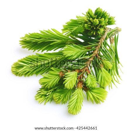 Pine tree branch isolated - stock photo