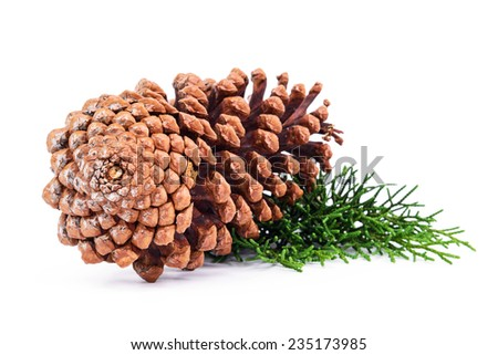 Pine tree branch with cones isolated on white background. - stock photo