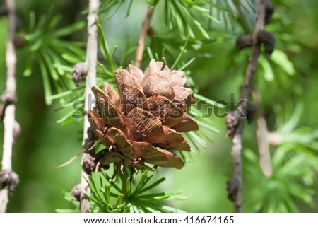 Pine tree branch with pine-cone, pinecone. Macro nature, green energy concept. soft focus, shallow depth of field  - stock photo