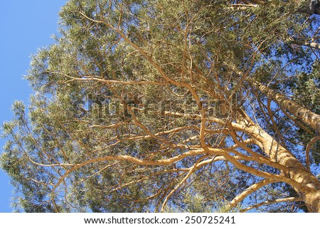 Pine tree branches, low angle view, against blue sky.
