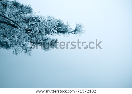 pine tree branches with ice fog in winter