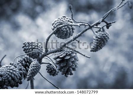 Pine tree cones on the branch. Monochrome photo  - stock photo